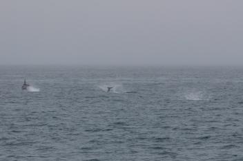 White Beaked Dolphins @Húsavík
