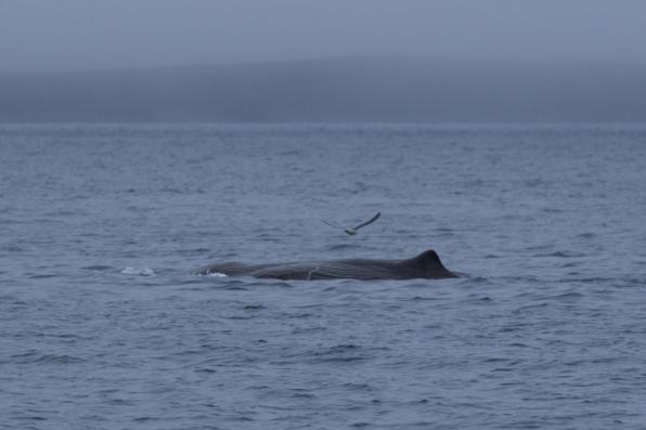Sperm Whale @Húsavík