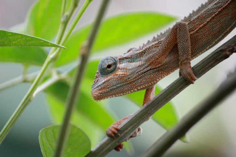 Chameleon, Kenya