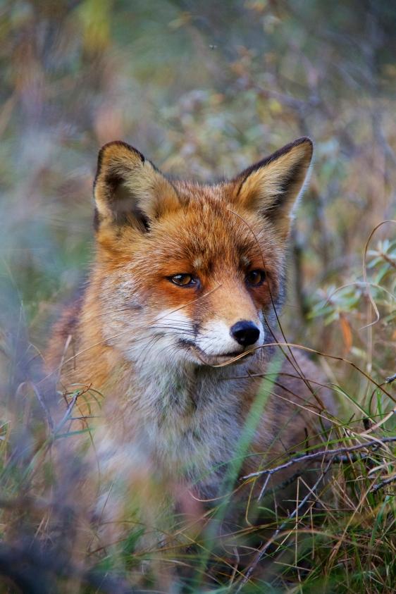 Fox #3, Netherlands