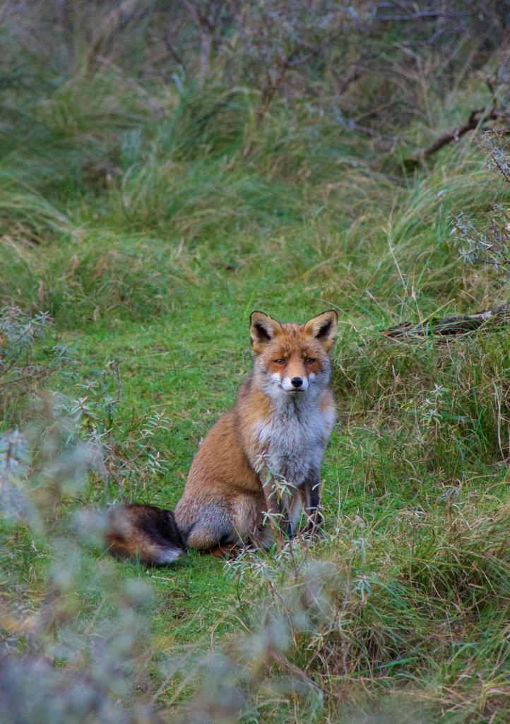 Fox #2, Netherlands