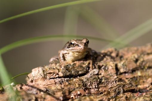 Frog, Netherlands