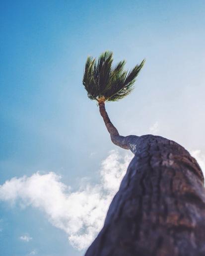 Punta Cana palm, Dominican Republic