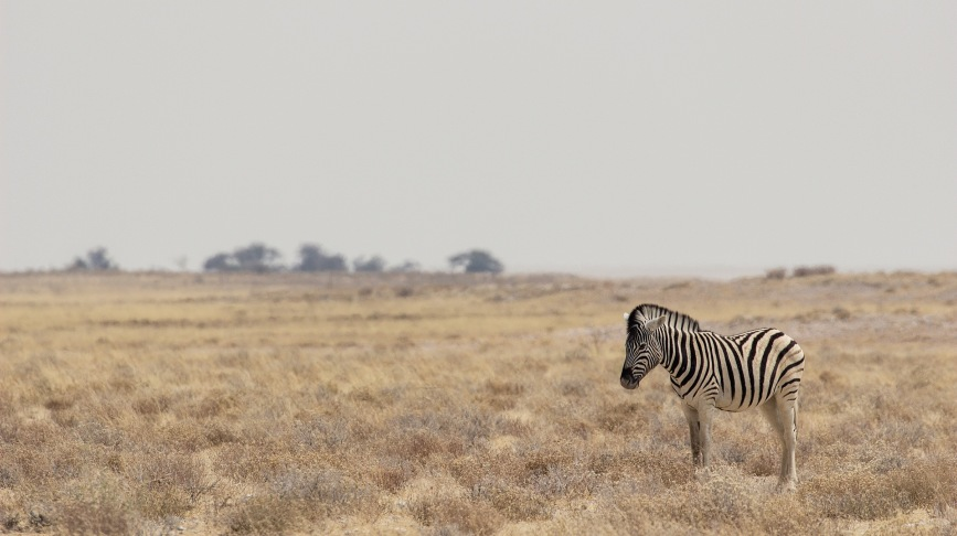 Hello zebra, Namibia