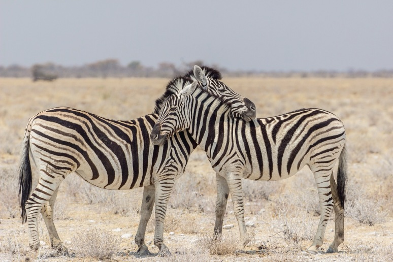 Cuddling zebras, Namibia