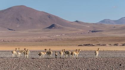 Vicuñas, Bolivia